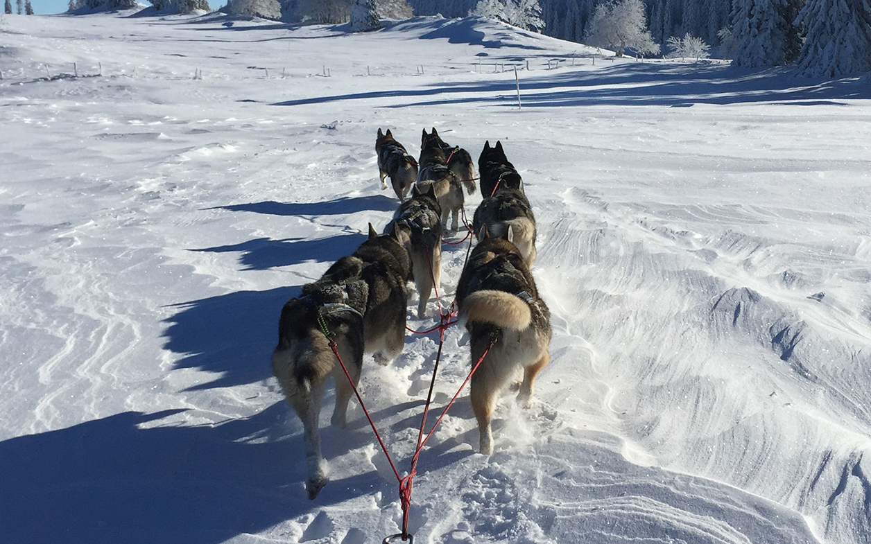 chiens traineau huskiesport Dombresson